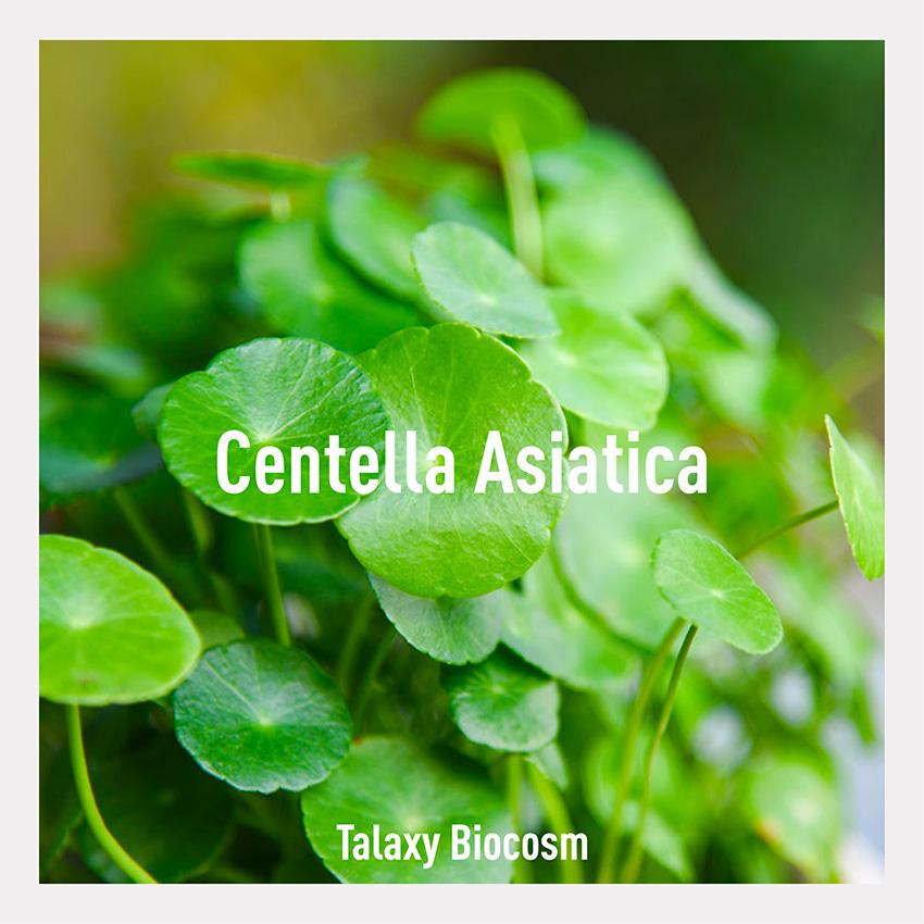 Conosci la centella asiatica? Scopri i suoi benefici e come lo utilizziamo nella nostra linea Talaxy home di Biocosm